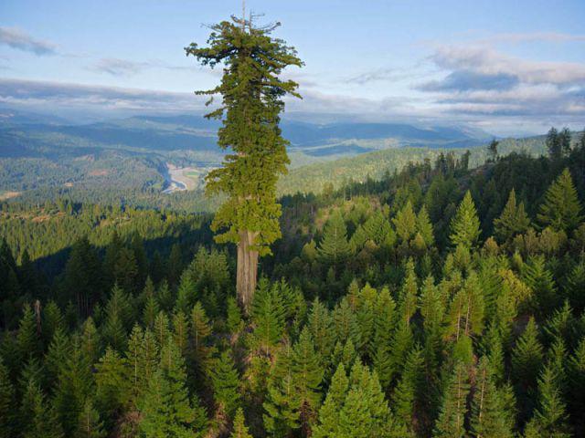pădure de molizi de slăbit)